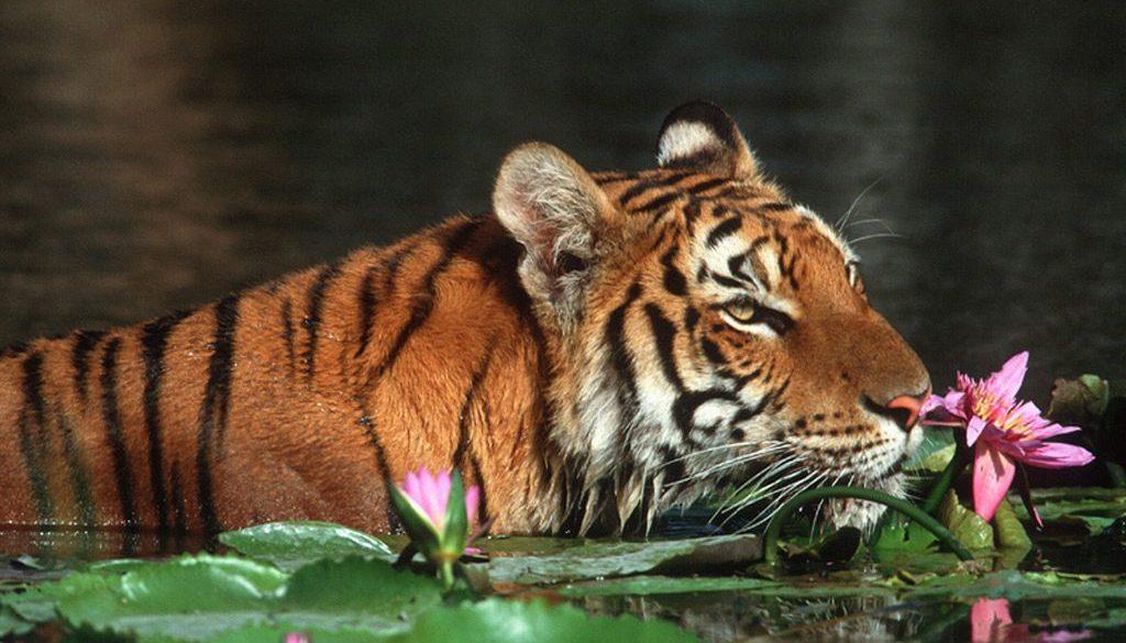 Tigerin